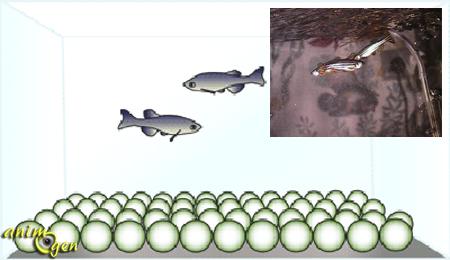 Aquariophilie comment faire se reproduire des danios for Alimentation poisson aquarium