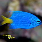 La demoiselle bleue à queue jaune (Chrysiptera parasema), un petit poisson haut en couleurs