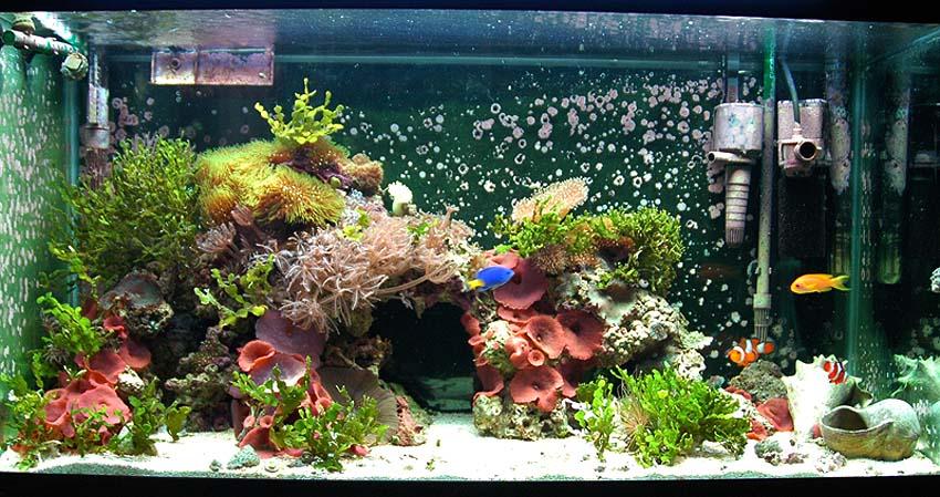 la demoiselle bleue queue jaune chrysiptera parasema un petit poisson haut en couleurs. Black Bedroom Furniture Sets. Home Design Ideas