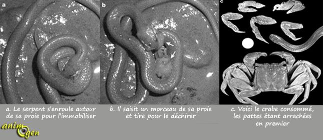 Alimentation : comment certains serpents parviennent-ils à découper leurs proies ?