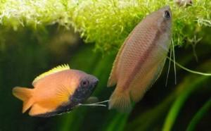 Cohabitation entre espèces Gourami-miel-Colisa-sota-Trichogaster-chuna-poisson-labyrinthid%C3%A9-esp%C3%A8ce-eau-douce-maintien-alimentation-reproduction-description-param%C3%A8tre-animal-animaux-compagnie-animogen-4-300x186