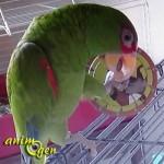 """La toupie """"Chevaliers d'ailleurs"""", une expérimentation à tous crins pour nos perroquets"""