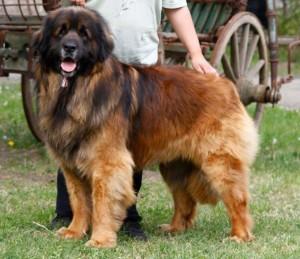 Le Leonberg, chien aimant et doux géant