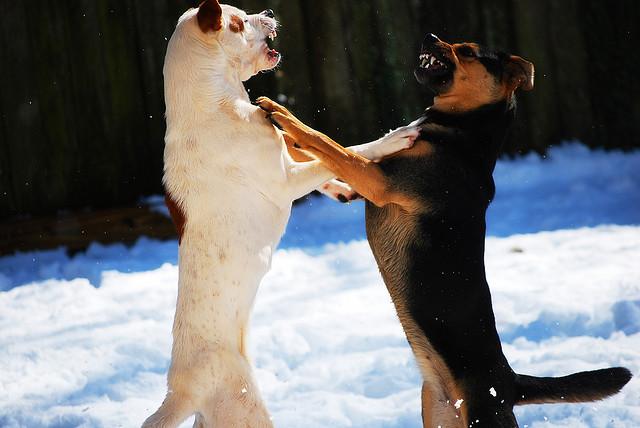 Education et comportement : peut-on arrêter deux chiens qui se battent ?