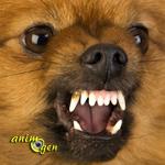 Comportement : pourquoi les chiens de petite race sont-ils souvent hargneux ?