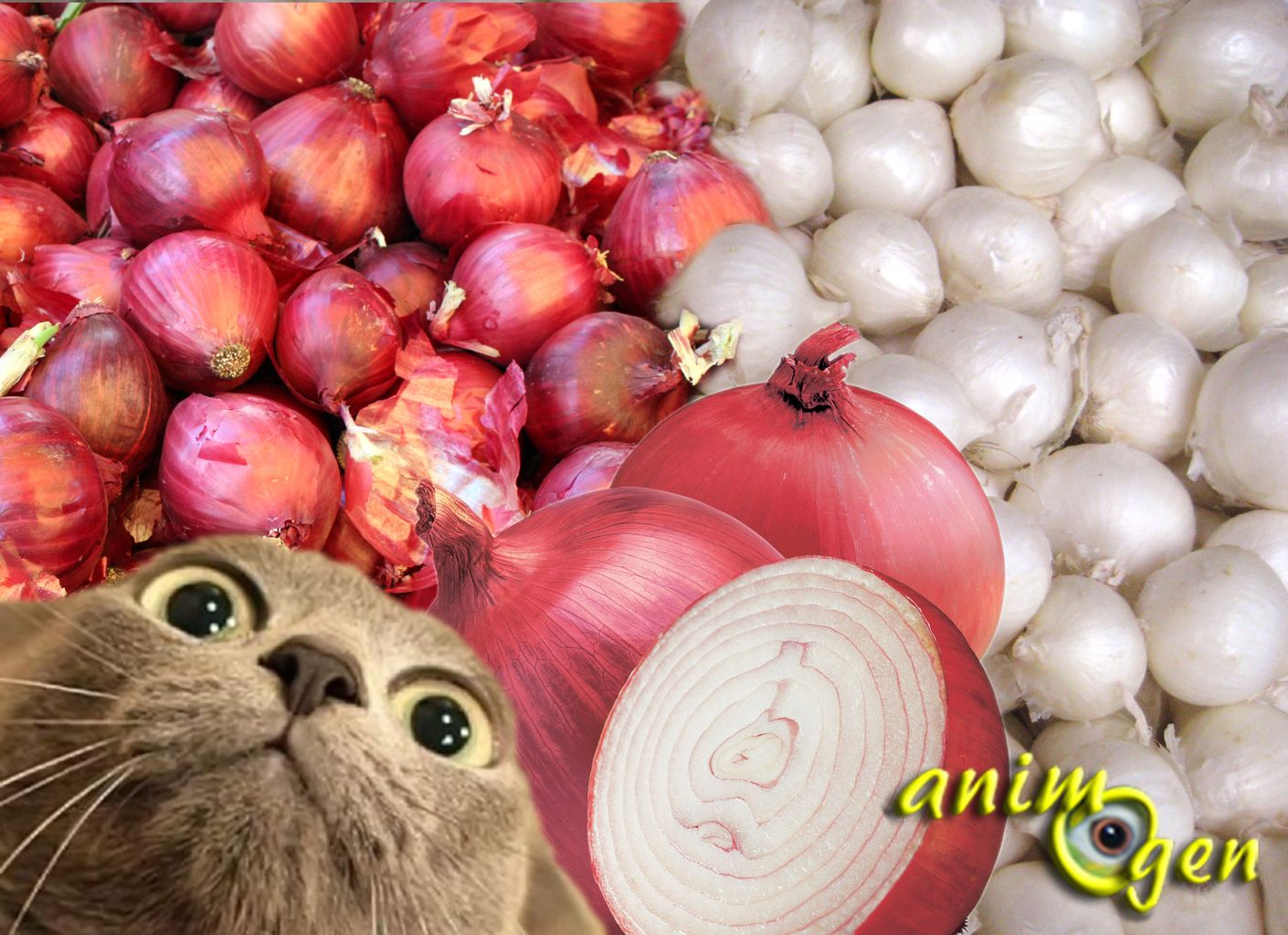Alimentation et santé : l'ail et l'oignon, des aliments toxiques pour les chats