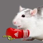 Comportement : la relation entre jeu et établissement de la hiérarchie chez les rats