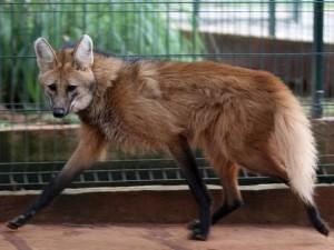 Sauvegarde des espèces animales : projet Embrapa, le Brésil vise le clonage d'animaux sauvages