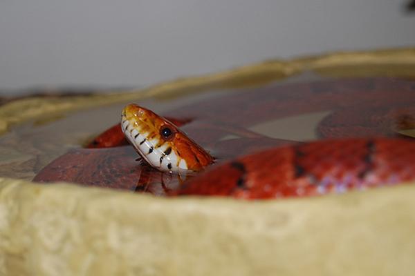 Comment choisir le récipient d'eau d'un serpent ?
