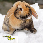 Santé : des lapins en hiver, ou comment permettre à nos lagomorphes de résister au froid