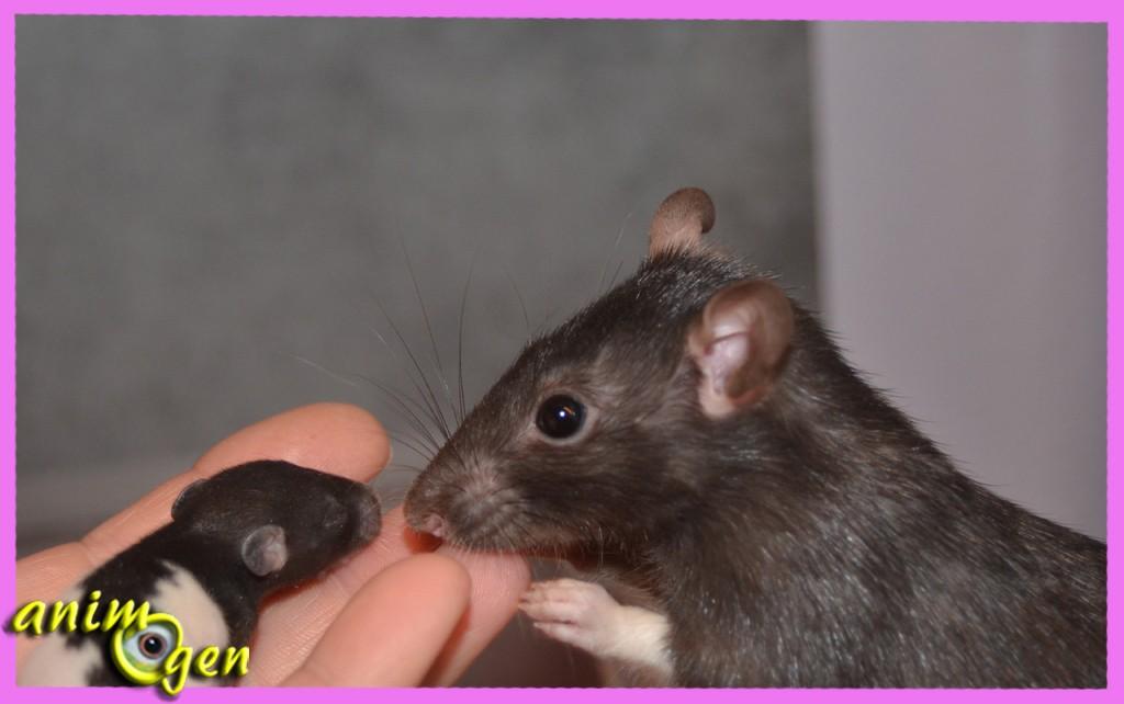 Rat-goût et son petit de 14 jours