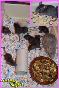 La reproduction chez les rats de compagnie : de la naissance au sevrage