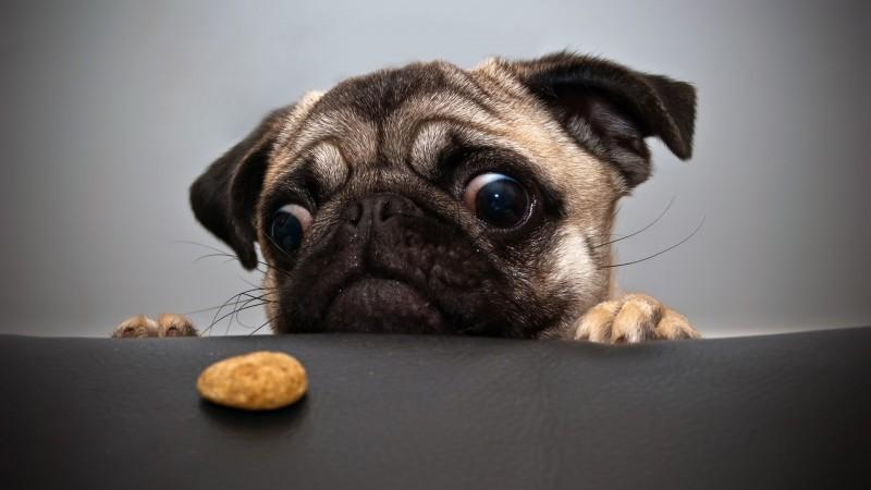 Comportement : la gourmandise chez le chien (causes, symptômes, solutions)