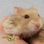 Morsure ou fuite : pourquoi le comportement d'un hamster peut-il changer brusquement ?
