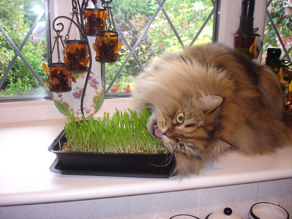 L'herbe à chat : variétés et effets sur le comportement animal