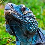 L'iguane : ce qu'il faut savoir avant de l'adopter