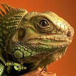 L'iguane vert, ou Iguana iguana, un géant réservé aux initiés