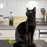 Comportement : pourquoi les chats montent-ils sur les tables et comptoirs ?