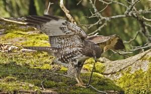 Comment les oiseaux se nourrissent-ils dans la nature ? (stratégie alimentaire)