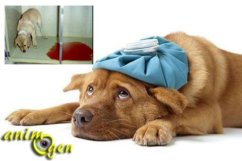 Santé : la parvovirose chez le chien (causes, symptômes, traitement)