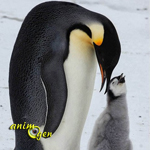 Tous les pingouins ne sont pas des manchots, comment faire la différence ?