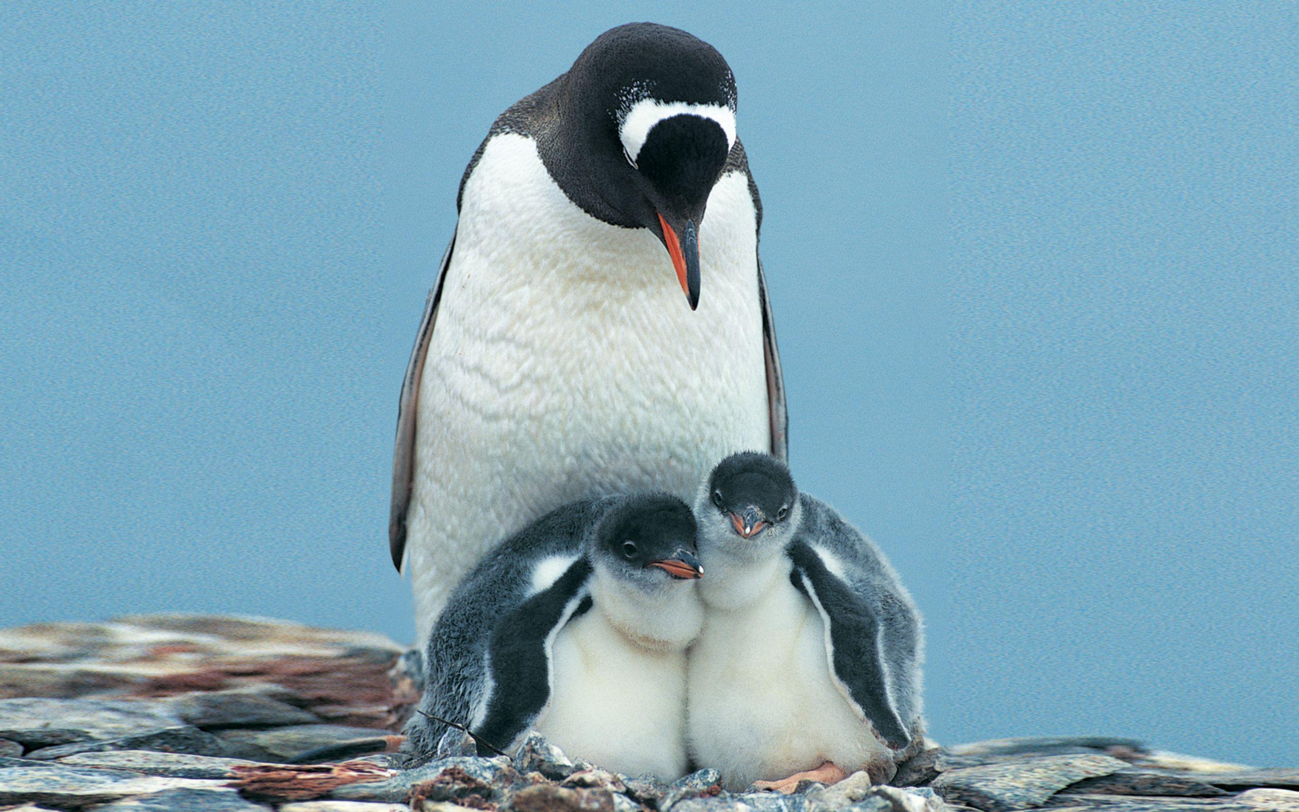 tous les pingouins ne sont pas des manchots comment faire. Black Bedroom Furniture Sets. Home Design Ideas