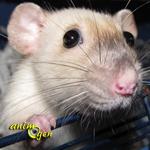 La reproduction chez les rats de compagnie : cycle, oestrus (chaleurs) et gestation