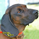 Le chien de rouge de Bavière (origines, éducation, caractère)