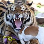 Panjo, tigre du Bengale ou chat de compagnie ?