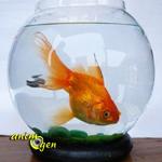 Aquariophilie : que faire lorsqu'un poisson devient trop grand ?