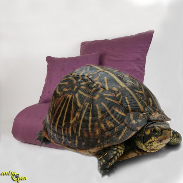 Le hoquet ou le bâillement chez les tortues de terre : illusion ou réalité ?