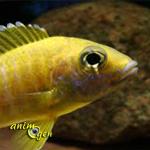 L'Aulonocara baenschi, joyau doré du lac Malawi