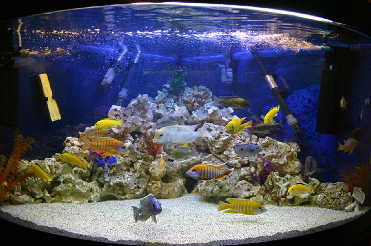 Poisson aquarium lac malawi for Alimentation poisson aquarium