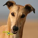 Le Greyhound, ou lévrier anglais, un dominant au cœur d'or