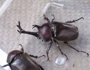 Trypoxylus dichotomus, le scarabée-rhinocéros japonais