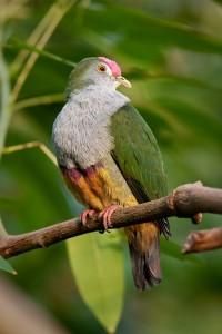 Les ptilopes, des pigeons qui se souviennent d'avoir été des perroquets