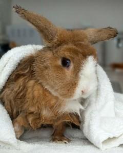 Santé : le bain pour les lapins (utilité, méthode, déroulement)