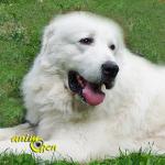 Le Berger polonais de Podhale, ou chien de berger des Tatras