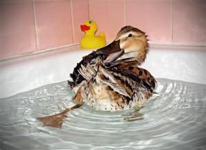 Ce qu'il faut savoir avant d'adopter un canard