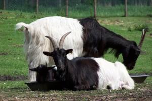 La chèvre à col noir du Valais, ou chèvre des glaciers (Capra aegagrus hircus)