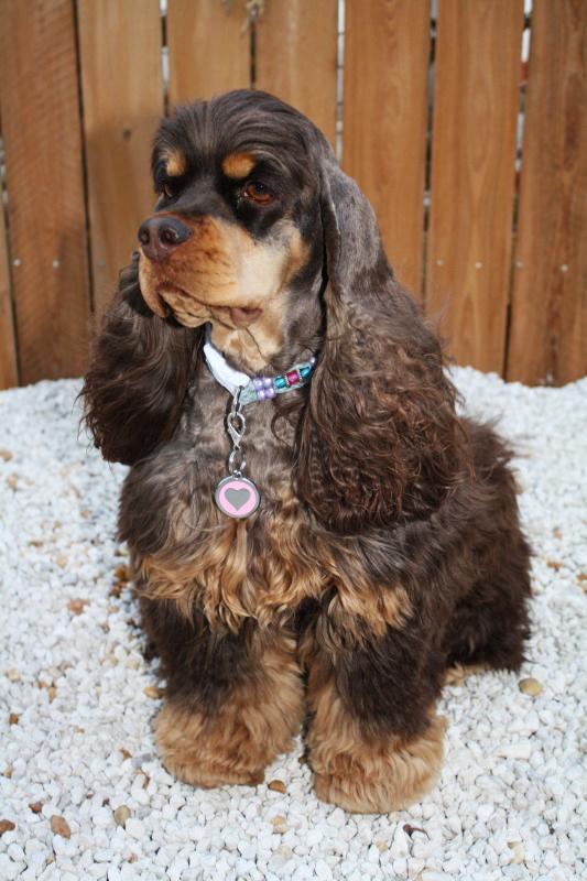 Le cocker Spaniel américain, une douce personnalité dans un habit de fourrure
