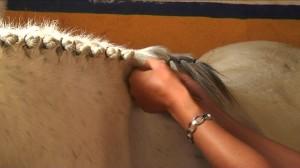 Coiffure de crinière pour cheval et poney : comment faire des pions cousus ?