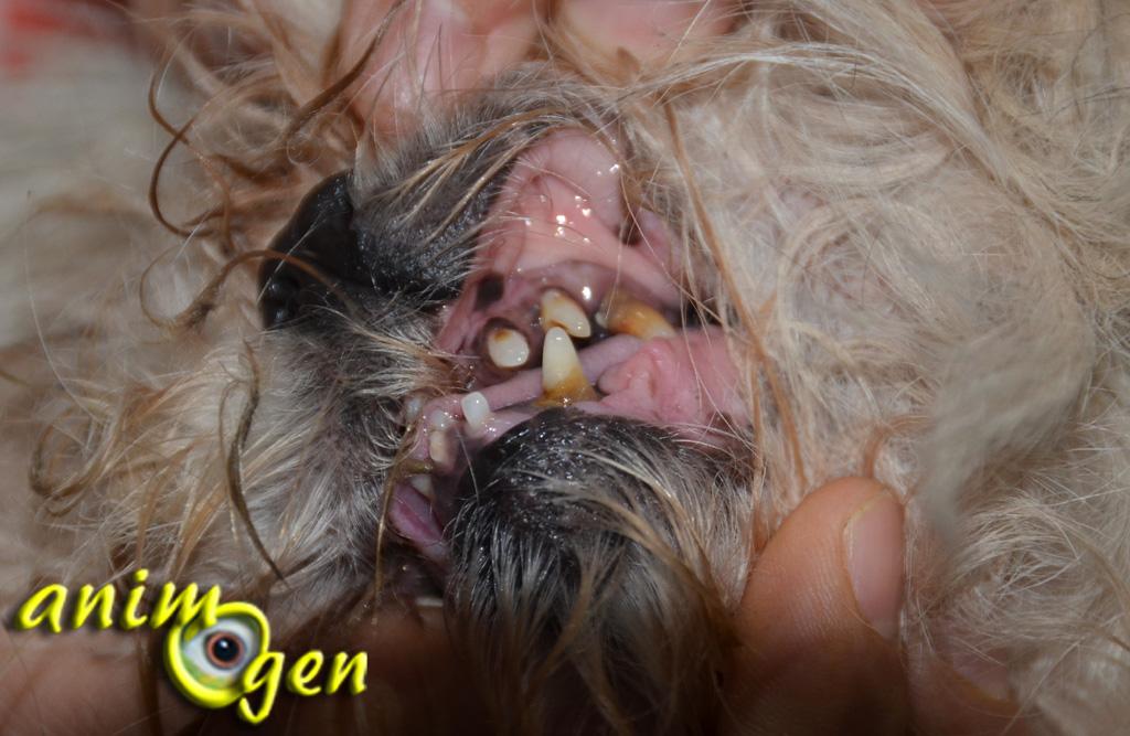 Santé : dents de lait et dents définitives chez les chiens (croissance, renouvellement, problèmes)