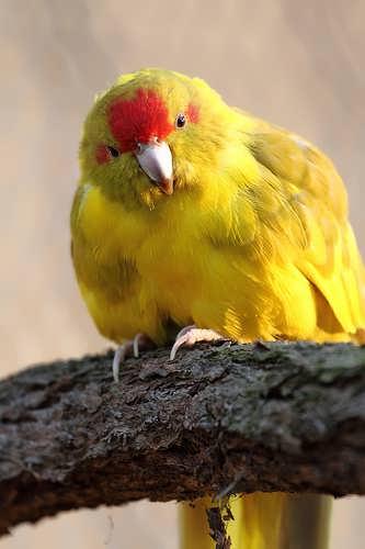 Santé : le diabète chez les perroquets (causes,symptômes, traitements)