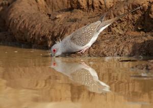 Alimentation, santé : comment pigeons, colombes et tourterelles boivent-ils ?