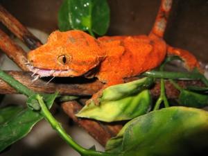 gecko-crête-Rhacodactylus-ciliatus-alimentation-comportement-nocturne-reptiles-NAC-animal-animaux-compagnie-animogen-reproduction-6.jpg