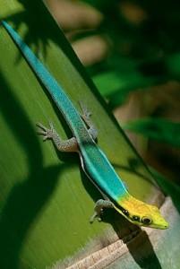 Le gecko néon, ou Phelsuma klemmeri, Houdini de nos terrariums