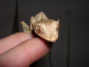 Le gecko satanique à queue de feuille (Uroplatus phantasticus), un as du camouflage