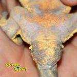 Comment connaître le sexe d'un gecko à crête, ou Rhacodactylus ciliatus ?