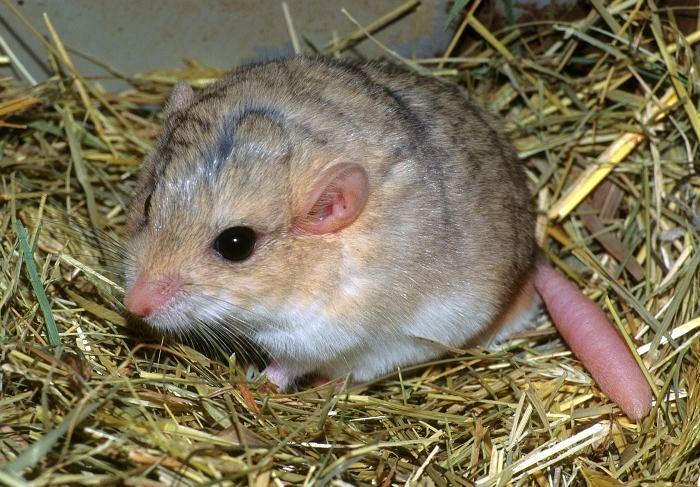 La gerbille à queue grasse, ou à queue en massue (Pachuyromys duprasi)